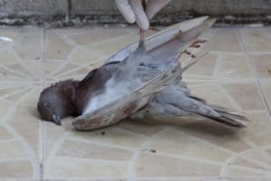 pigeon, homeless, dead, disease, euthanasia, death, illegal search, constitutional rights